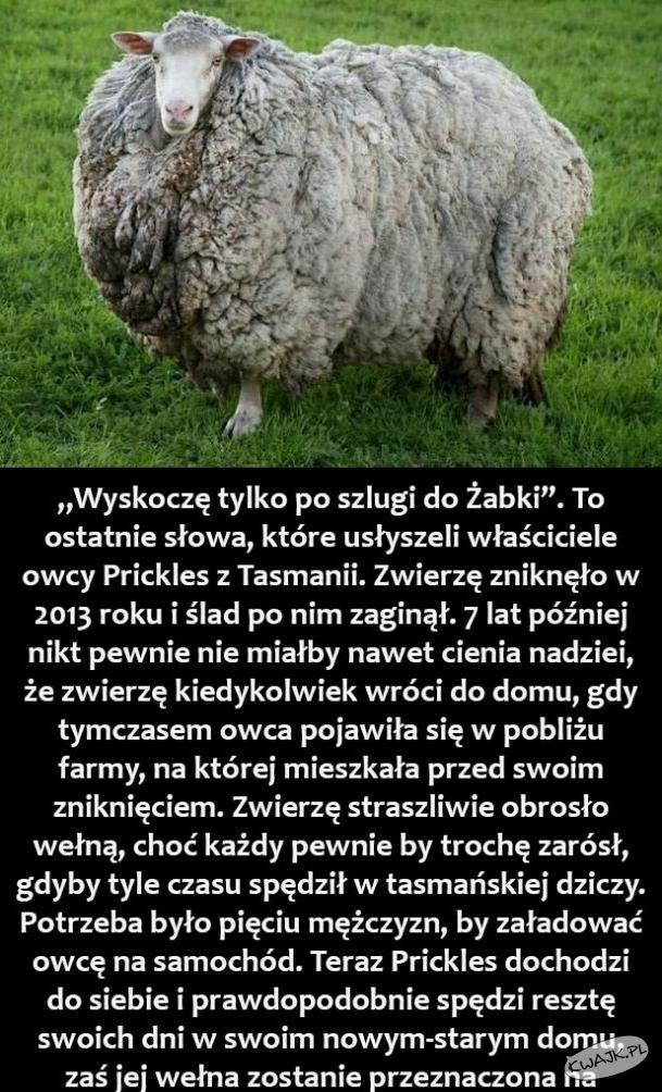 Owca wróciła po 7 latach nieobecności