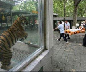Ponieśli i tygrysa