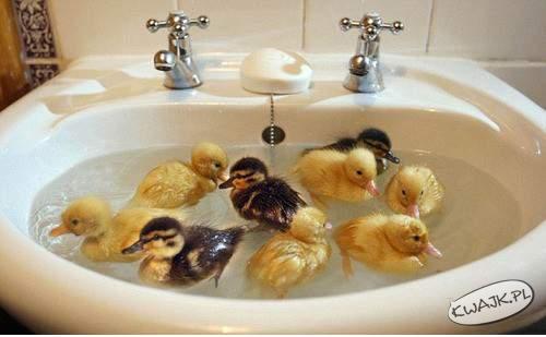 Kurczaczki w kąpieli