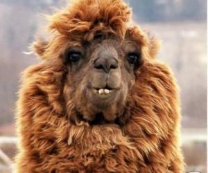 Mówisz na nią zwykła lama, a może ona ma na imię Pszemek