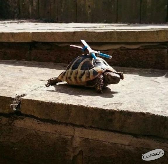 Wojowniczy żółw