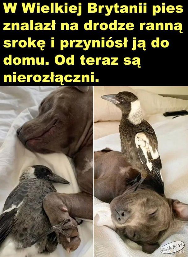 Miłość psa i sroki