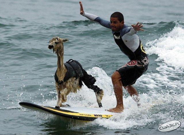 Lama surfing
