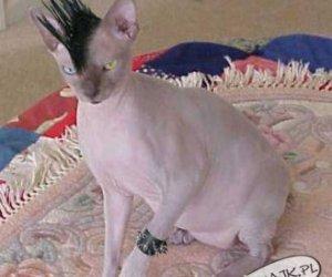 Punkcat