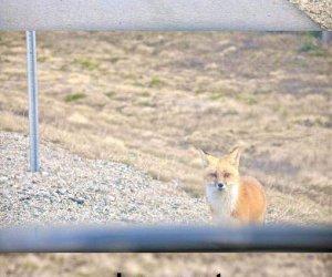 Idzie lisek koło drogi
