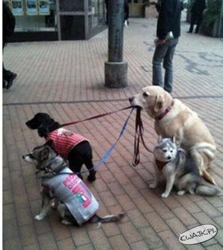 Jak wyprowadzić wiele psów naraz