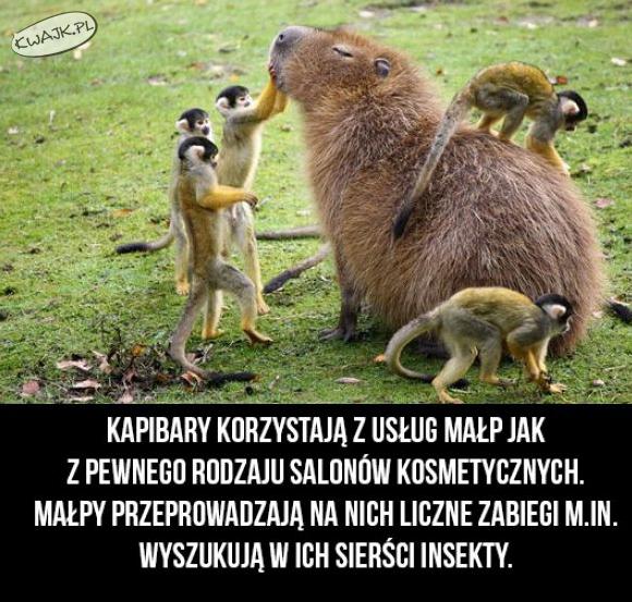 Małpi salon